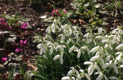 Plant of the Month – February – Spring bulbs
