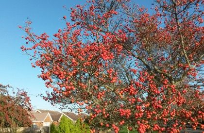 Plant of the Month – January – Hawthorn