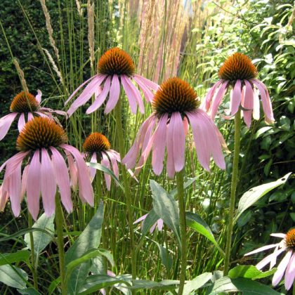 Garden Design Suffolk Echinacea flower