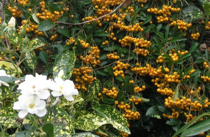 Plant of the Month Pyracantha