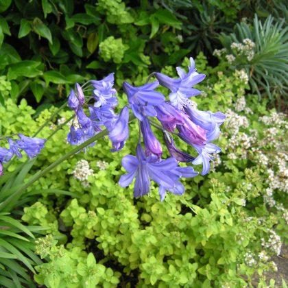 Agapanthus Lilliput