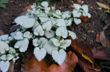 Plant of the Month – November – White Nancy