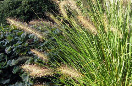 Plant of the Month – October – Pennisetum