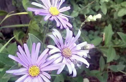 Plant of the Month – September – Aster