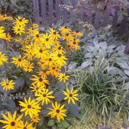 Autumn Plant - Rudbeckia
