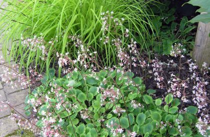 Plant of the Month – June – Saxifraga Dentata