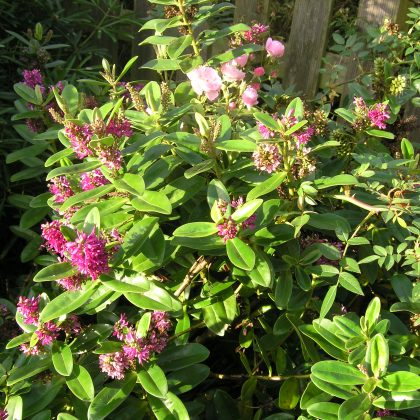 garden design suffolk plant of the month