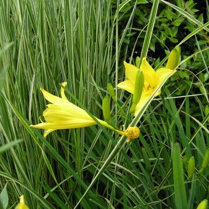 Plant of the Month Hemerocallis