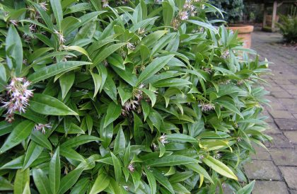 Plant of the Month – February – Sarcococca
