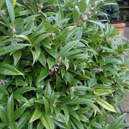 Vibrant green Sarcococca in a garden