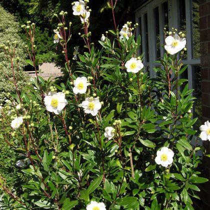 plant of the month carpenteria