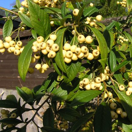 Cotoneaster Rothchildianus tree
