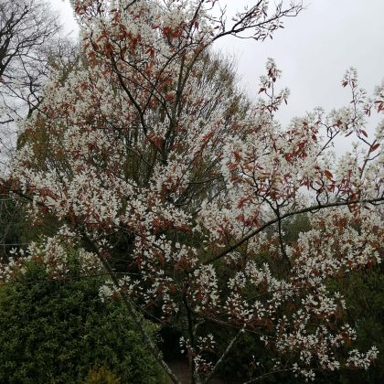 Plant of the Month Amelanchier