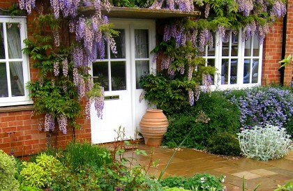 Plant of the Month – May – Wisteria