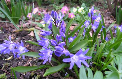 Plant of the Month – March – Chionodoxa