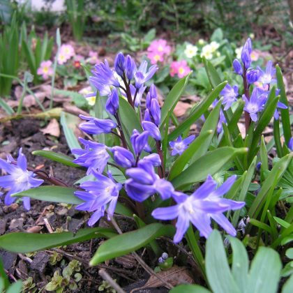 Blue flowers of the Chionodoxa forbesii in a winter garden
