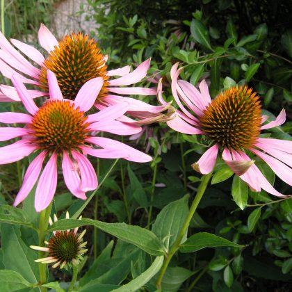 Echinacea Flower - plant of the month August
