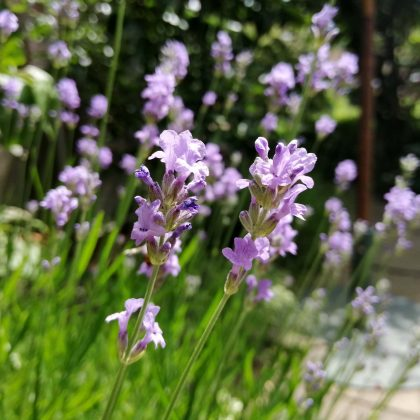 lavander plant of the month