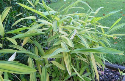 Plant of the Month for December – Dwarf bamboo