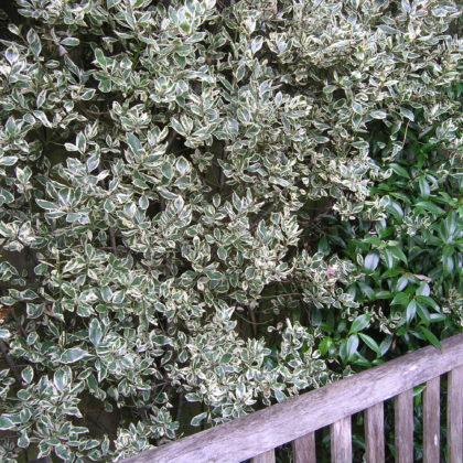 Rhamnus plant of the month